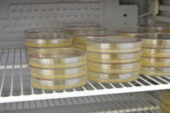 Many petri dishes with culture medium in laboratory. Stock Image