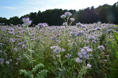 Many Phacelia  blossoms  on the field  in the back light Royalty Free Stock Photo