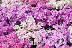 Many Phlox subulata flowers Stock Photo
