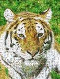Many photographs of tiger Royalty Free Stock Photos