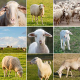 Many photos of sheeps on the field Stock Photos