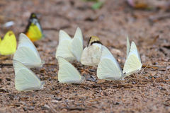 Many pieridae butterflies gathering water on floor Stock Photos