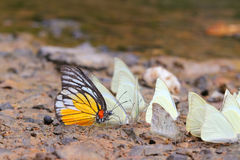 Many pieridae butterflies gathering water on floor Royalty Free Stock Photography