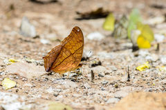 Many pieridae butterflies gathering water on floor Royalty Free Stock Photos