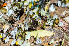 Many pieridae butterflies gathering water on floor Stock Images