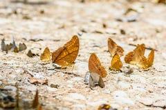 Many pieridae butterflies gathering water on floor Royalty Free Stock Image