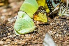 Many pieridae butterflies gathering water on floor Royalty Free Stock Photo