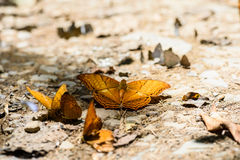 Many pieridae butterflies gathering water on floor Stock Photo