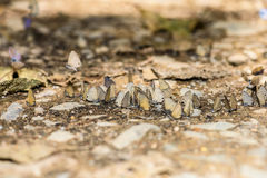 Many pieridae butterflies gathering water on floor Stock Photography