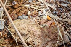 Many pieridae butterflies gathering water on floor, kaeng krachan national park, thailand. Stock Images