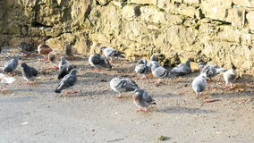 Many pigeon at sunny day stock footage