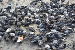 Many pigeons Stock Photo