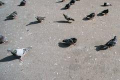 Many pigeons on the asphalt stock photo