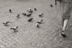 Many pigeons on cobblestone pavement in Rome, black and white Stock Image