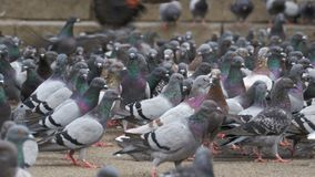 Many Pigeons Eat Food on the Street. Flock of pigeons eating bread outdoors in the city street. Feeding Pigeons on the sidewalk in the park. Thousands of stock footage