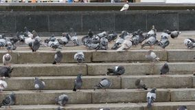 Many Pigeons Eat Food on the Street. Flock of pigeons eating bread outdoors in the city street. Feeding Pigeons on the sidewalk in the park. Thousands of stock video footage