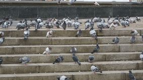 Many Pigeons Eat Food on the Street. Slow Motion. In 96 fps. Flock of pigeons eating bread outdoors in the city street. Feeding Pigeons on the sidewalk in the stock footage