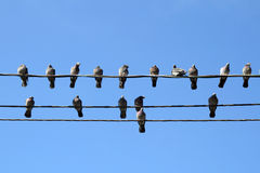 Many pigeons on an electric wires Royalty Free Stock Photo
