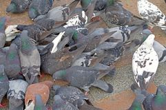 Pigeons fight over for food. Many pigeons fight over for food stock images