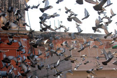 Many pigeons flying Stock Photography
