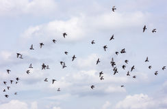 Many of pigeons flying sky background Stock Photography