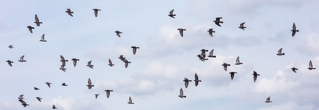 Many of pigeons flying sky background Royalty Free Stock Photos