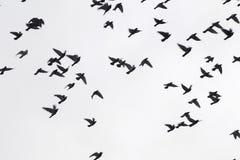 Many pigeons Stock Photos