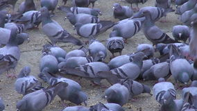 Many pigeons in Jaipur city , Rajasthan, India stock video