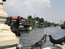 Many pigeons in Khlong prasri Charoen Bangkok Royalty Free Stock Photos