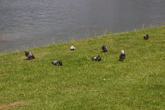Many pigeons at a lake Royalty Free Stock Images