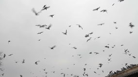 Many pigeons stock footage