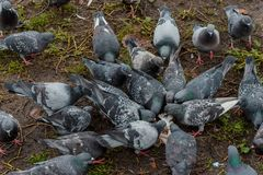 Many pigeons are pecking something. On the lawn on the street royalty free stock photography