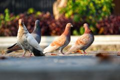Many pigeons perch on the concrete road. royalty free stock photography