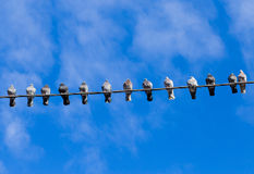 Many pigeons perched on a cable. Pigeons on wire. Royalty Free Stock Photography