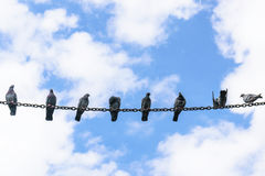 Many pigeons perched on a steel chain. Stock Photo