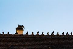 Many pigeons in a row on a roof royalty free stock photo
