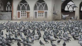 Many pigeons stock video footage