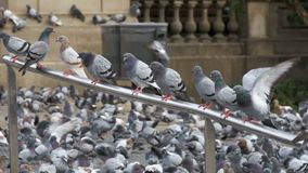 Many pigeons sit on a railing in a city street. Slow Motion. In 96 fps. Huge Flock of Pigeons on the City Park. Lot of pigeons eat food on the street. Feeding stock video