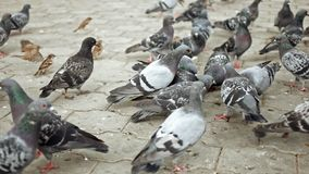 Many pigeons and sparrows fight for food stock footage