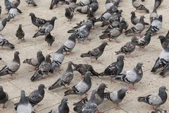 Many pigeons are standing on the ground waiting to be fed. Bosnia Royalty Free Stock Photography