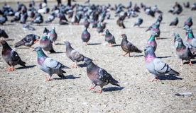 Many pigeons on the street. Big group of city pigeons on the street stock photo