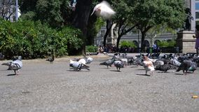 Many pigeons in the town square. On sunny day stock video footage