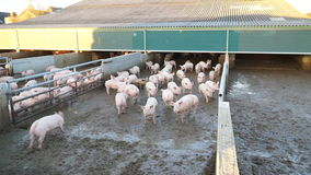 Many pigs on the farm stock video footage