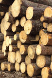 Many pine logs stacked closeup Royalty Free Stock Image