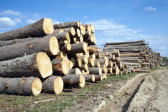 Many pine logs stacked outdoor Stock Images
