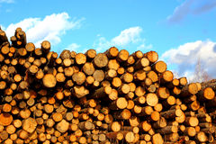 Many of pine and spruce logs in logging Royalty Free Stock Images