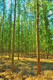 The many pine trees as a cash crop Stock Photography