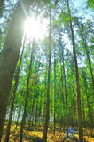 The many pine trees as a cash crop Stock Images