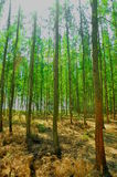 The many pine trees as a cash crop Royalty Free Stock Photography