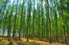 The many pine trees as a cash crop Stock Image
